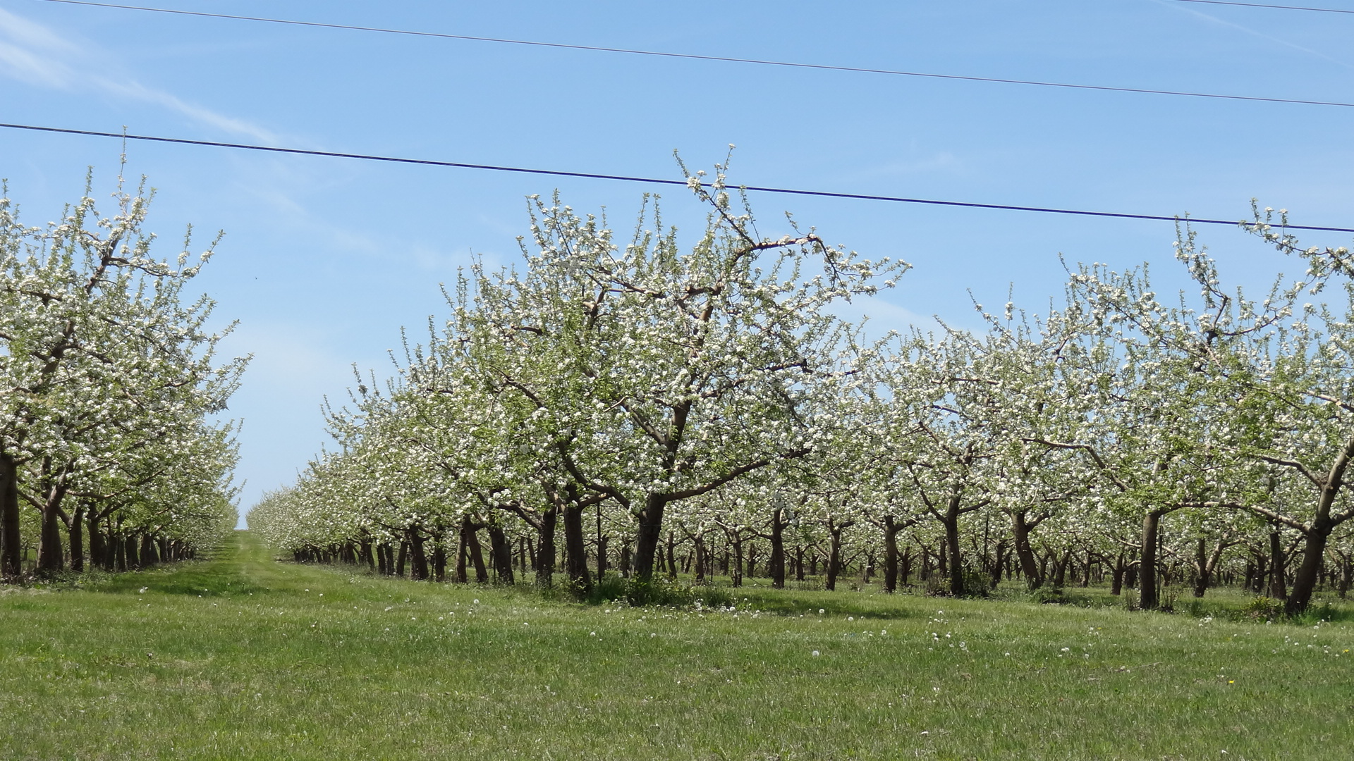Cherry Trees near Traverse City